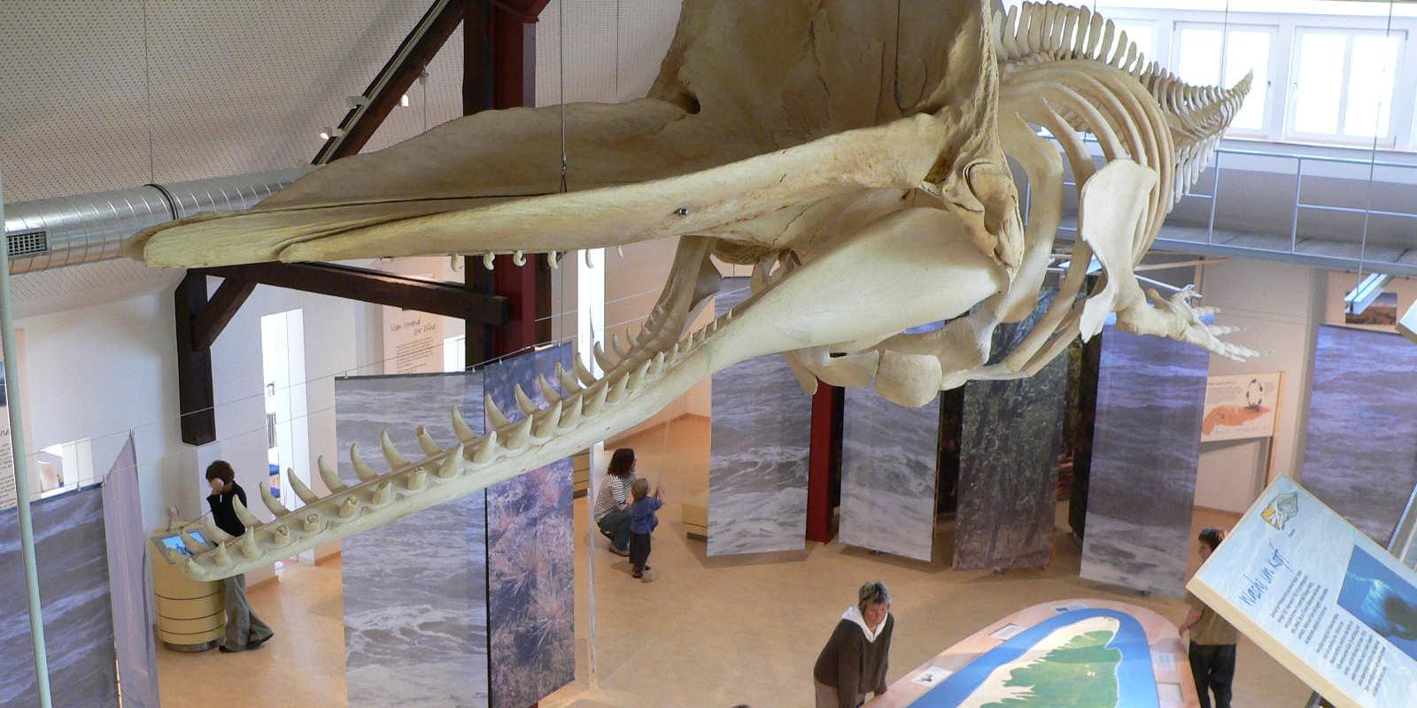 Walskelett in der Ausstellung, Nationalpark-Haus Wittbülten